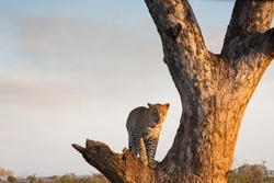 Leopard standing in a tree on beautiful winters day