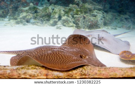 Leopard Stingray. The leopard Stingray is one of the most dangerous fish of the order of stingrays. They live in all tropical and subtropical seas.  #1230382225