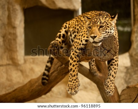 Leopard (Tiger) deep sleep on the tree.