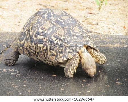 Leopard Tortoise.