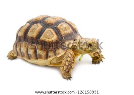 Leopard Tortoise (Geochelone pardalis) isolated on white background.