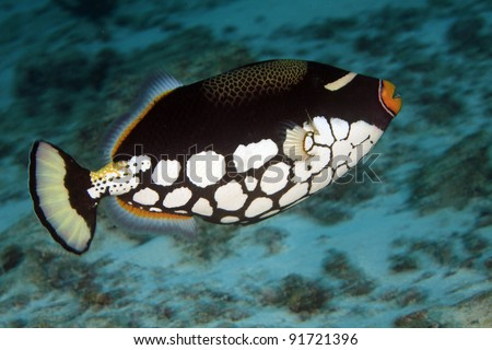 Leopard triggerfish in the indian ocean