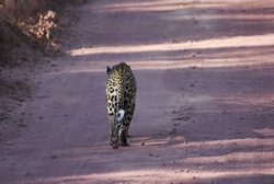 Leopard walking along dirt road.