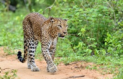 Leopard walking on a sand road. The Sri Lankan leopard (Panthera pardus kotiya)