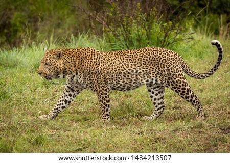 Leopard walks through grass with bush behind