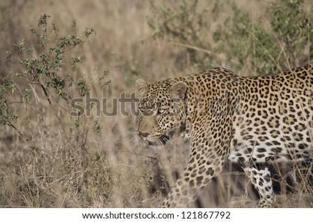 Leopard walks through the undergrowth in the Masai Mara