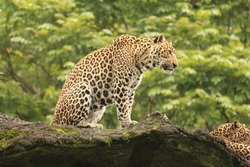 leopard watching over the distance