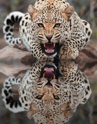 Leopard water Reflection