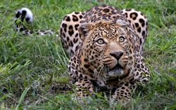 Leopard who is ferocious to prey