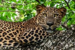 Leopard wild panther animal laying on the tree in jungle, Yala National Park, Sri Lanka