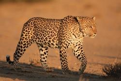 Leopard, wildlife, Kalahari, South Africa