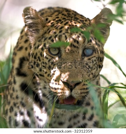 Leopard with blind eye