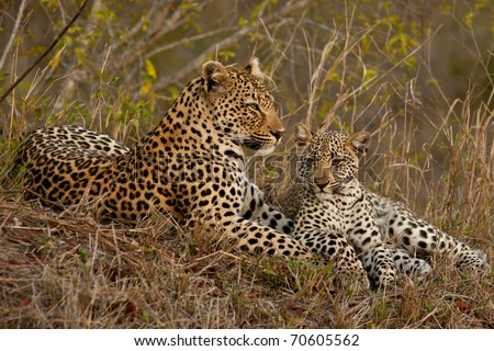 Leopard with cub sitting beside her