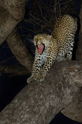 Leopard yawning in tree at night