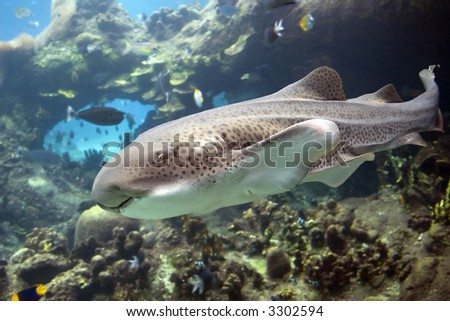 Leopard / Zebra Shark  (Stegostoma fasciatum) and divers swimming over tropical reef
