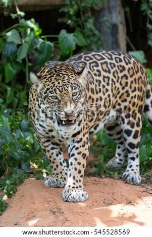 Leopards are ambush prey #545528569