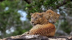 Leopards on a stone. The Sri Lankan leopard (Panthera pardus kotiya) male and female.