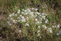 Lepidium cartilagineum at salt steppes in the Subotica Sand landscape of exceptional distinction in Serbia
