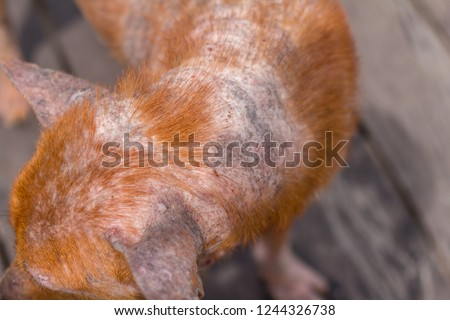 Leprosy dog or Canine leprosy (canine leproid granuloma syndrome) on skin. #1244326738