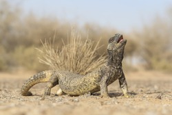 Leptien's spiny-tailed lizard (Uromastyx leptieni) threat display. A strong, powerful lizard that loves the midday desert heat, this individual arches its back and raises its head in a threat display.