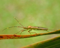 Leptocorisa oratoria, the rice ear bug is an insect from the family Alydidae, the broad-headed bugs. This species is commonly confused with Leptocorisa acuta  and other similar, related