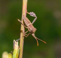 Leptoglossus phyllopus or Eastern leaf-footed bug Hanging on eastern gamagrass stalk, blurred green background, white stripe on back