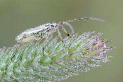 Leptopterna dolabrata, also known as Miris dolabratus, the meadow plant bug