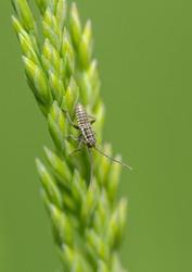 Leptopterna species mirid bug nymph. Either (Dolabrata or ferrugata)?