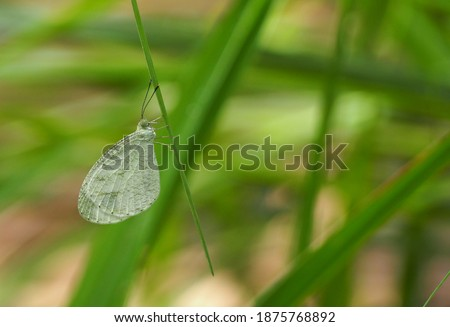 Leptosia nina nina,the common Psyche,is a species of Pierinae butterfly (Family Pieridae) perched on a leaf with blurred background. Foto stock ©