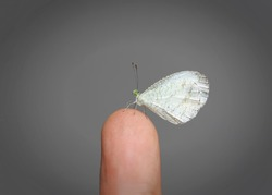 Leptosia nina, the psyche is a small butterfly of the family Pieridae. The flight is weak and erratic and the body of the butterfly bobs up and down as it beats its wings.