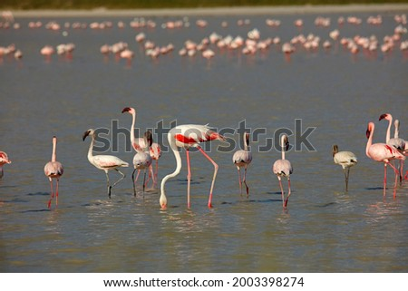 Lesser and greater flamingoes on flooded Sua Pan, Nata Bird Sanctuary, Botswana, Africa Foto stock ©