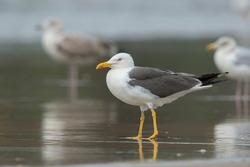 Lesser Black-backed Gull (Larus fuscus) adult on the beach at the shoreline with two European Herring Gull's (Larus argentatus) in the background