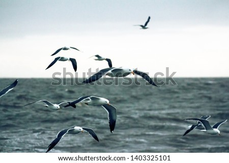 Lesser black-backed gull (Larus fuscus heuglini) Siberian subspecies within the breeding range, in definitive plumage over the Barents sea, Forage from the sea surface, July