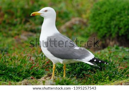 Lesser Black-backed Gull (Larus fuscus) on Skomer Island, Pembrokeshire, Wales, UK
