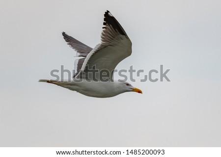 lesser black-backed gull (larus fuscus)on the german Island Amrum (Oomram), Germany Germany