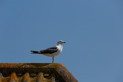 Lesser black backed gull perched on top  of a roof on the ridge tiles. Blue sky background.