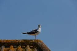 Lesser black backed gull perched on top of a tiled roof looking towards you. Blue sky background.