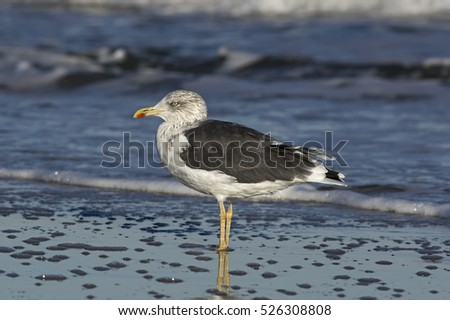 Lesser black-backed gull standing on the beach in late afternoon sun. It is a large gull that breeds on the Atlantic coasts of Europe. The scientific name is Larus fuscus.