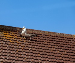 Lesser black backed gull with a juvenile waiting to be fed on a roof.