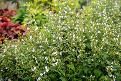 Lesser calamint (Calamintha nepeta subsp. nepeta [C. nepetoides]) in flower in a garden setting