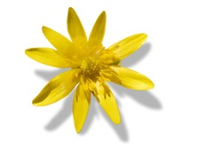 lesser celandine or Yellow Ficaria verna flower isolated on white background, copy space