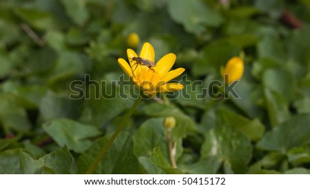 Lesser celandine with insect