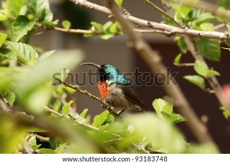 Lesser Double Collared Sun bird sitting on tree branch.