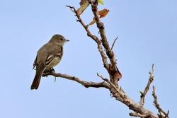 Lesser Elaenia (Elaenia chiriquensis) perched on a branch