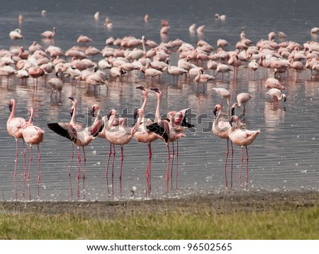 Lesser flamingo, Phoenicolanas minor
