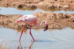 Lesser flamingo (Phoeniconaias minor) walking at the lake