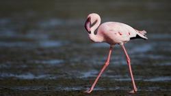 Lesser flamingo strides across shallows