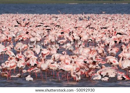 Lesser flamingos at Lake Nakuru, Great Rift Valley, Kenya, East Africa