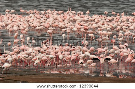 Lesser Flamingos wading in water at Lake Bogoria National Park. Kenya