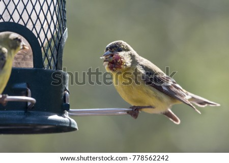 Lesser Goldfinch with Avian Pox disease sitting on bird feeder #778562242